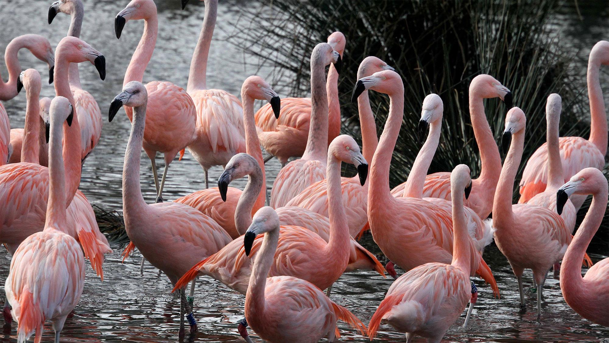 ARTIS Chileense flamingo s in ARTIS Foto ARTIS, Ronald van Weeren